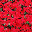 Red poinsettia plants — Stock Photo