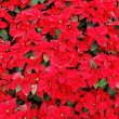 Stock Photo: Red poinsettia plants
