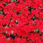 Red poinsettia plants — Stock Photo