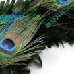Peacock feather eye — Stock Photo