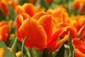 Orange tulip — Stock Photo