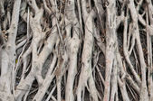 Banyan tree roots — Stock Photo