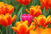 Pink tulip in the group — Stock Photo