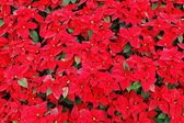 Red poinsettia plants — Stok fotoğraf