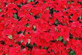 Kırmızı atatürk çiçeği bitkiler — Stok fotoğraf
