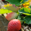 Strawberries on the vine - Stock Photo