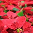 Red poinsettia flowers - Stock Photo