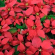 Red poinsettia background — Stock Photo