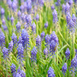Background of grape hyacinth — Stock Photo