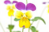 Purple-yellow pansy — Stock Photo
