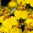 Yellow dancing lady orchid — Stock Photo