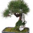 kinesiska bonsaiträd — Stockfoto