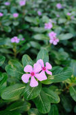 Pink periwinkle flowers — Stock Photo