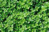 Background of mint — Stock Photo