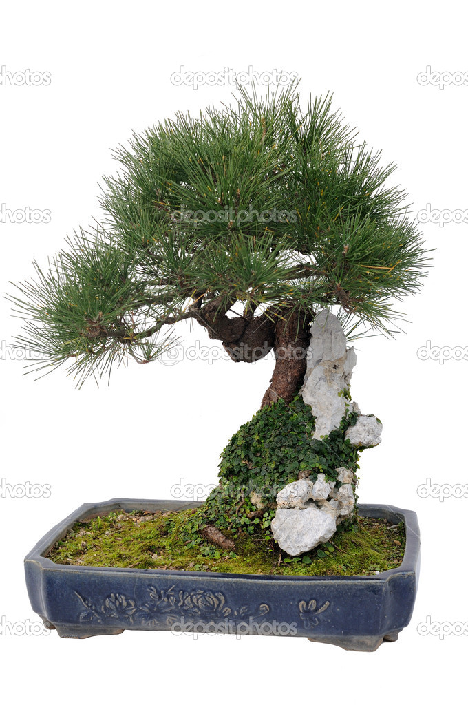 Chinese bonsai tree in isolated white background  Stock Photo #9621244