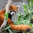 Red panda — Stock Photo #9712491