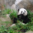 Giant panda — Stock Photo #9712720