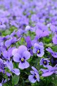 Violet pansy — Stock Photo