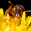 Cuckoo bee - Stockfoto