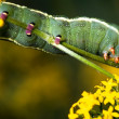 Larva of Butterfly — Stock Photo
