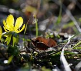 Winter aconite, Eranthis hyemalis — Stock Photo