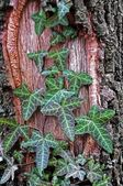 Common Ivy, Hedera helix — Stock Photo