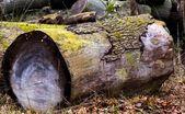 Tronco de un árbol — Foto de Stock