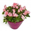 Rose flowers in flowerpot — Stock Photo