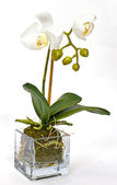 White orchid on white background — Stock Photo