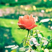 Cabeza color de rosa — Foto de Stock