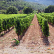 Neat Rows of Vine — Stock Photo