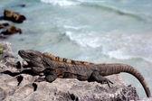 Iguana — Stok fotoğraf