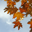 Stock Photo: Maple brunches against blue sky