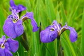 Colorful irises — Stock Photo