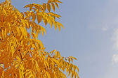 Ash-tree's golden leaves — Stock Photo