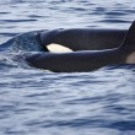 ������, ������: Transient orcas