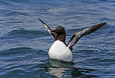 Guillemot on the surface of the water — Stock Photo