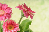 Bunch of gerbera — Stock Photo