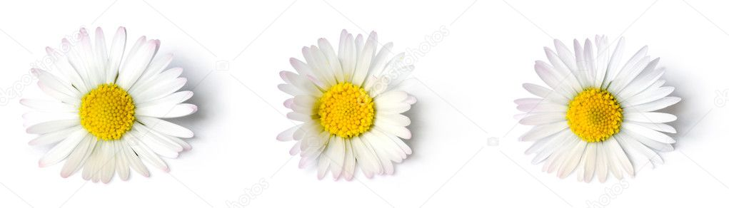 Daisies close up on white background — Stock Photo #7990882