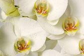 Orchideen — Stockfoto