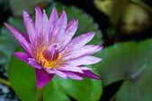Waterlily close-up — Stockfoto