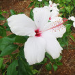 White Flower with Pinkish Stamen — Stok fotoğraf