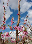 Peach garden — Stock Photo