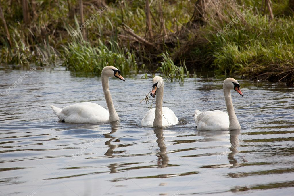 Photo of a group of swans on a small river in Auckley, Doncaster — Stock Photo #10544634