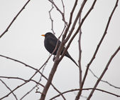 Blackbird — Stock fotografie
