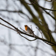 Robin in a tree — Stock Photo