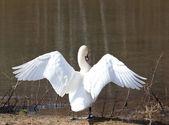 Cisne extiende sus alas — Foto de Stock