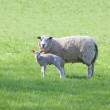 Lamb and Mother — Stock Photo