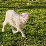 A cute lamb — Stock Photo