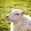 Beautiful sheep — Stock Photo
